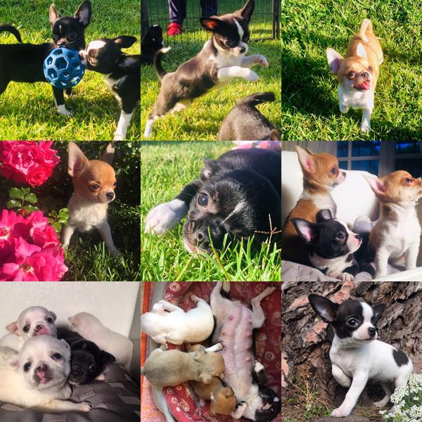Chihuahua-giugno-cuccioli.jpg